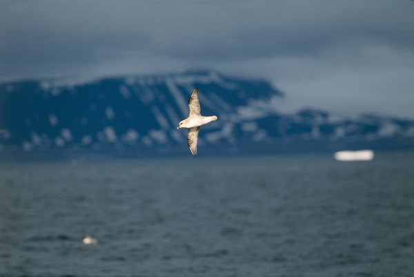 Stormfågel (Fulmarus glacialis) flyger i solljuset.