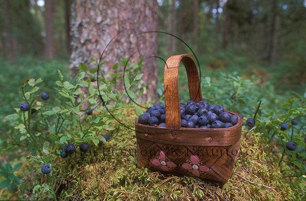 Blåbär  (Vaccinium myrtillus)