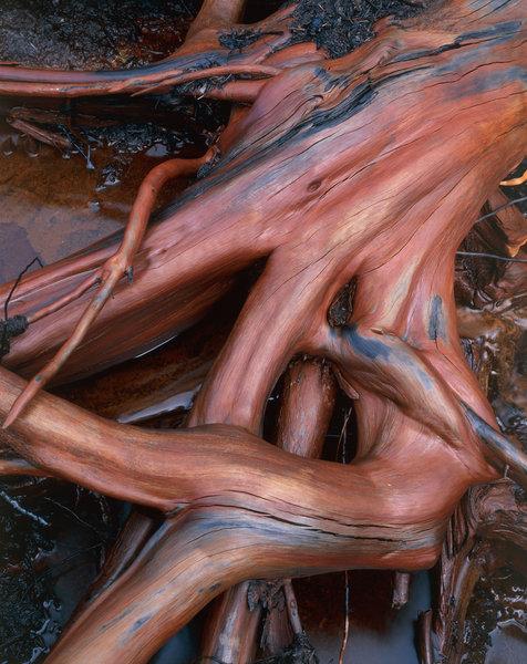 Våta rötter på tall (Pinus sylvestris).