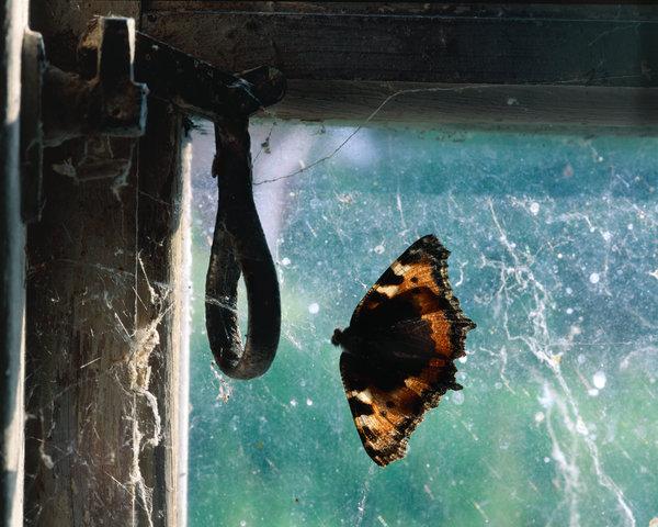 Död nässelfjäril(Aglais urticae) i spindelnät.