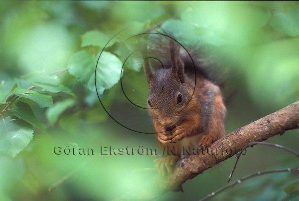 Ekorre  (Sciurus vulgaris)