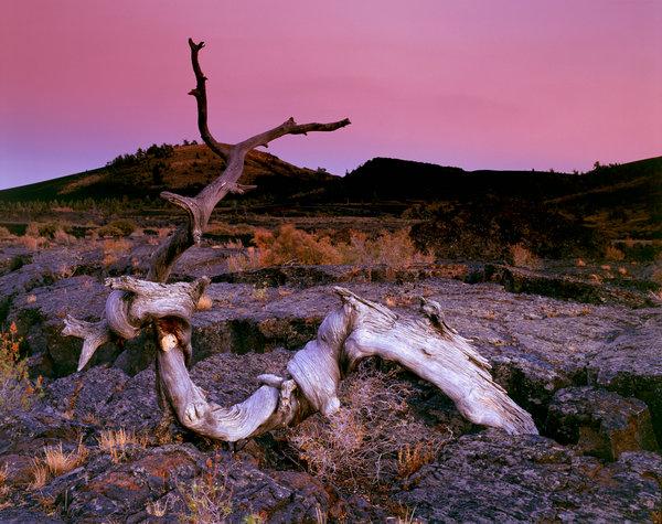Dött träd i lavalandskap.