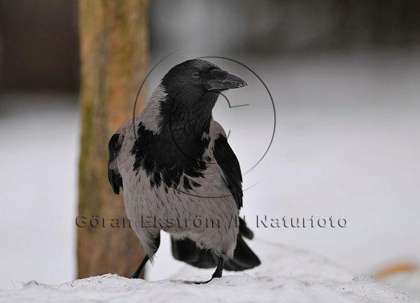 Kråka   (Corvus corone)