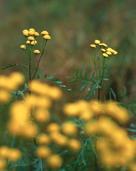 Renfana (Tanacetum vulgare).