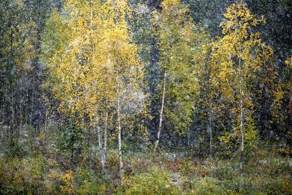 Snöfall i höstskog.