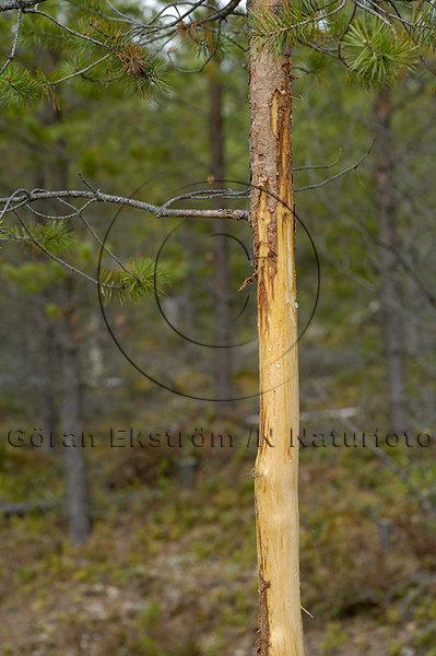 Fejningsskadat ungträd