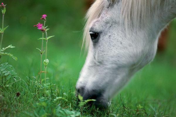 Rödblära (Selene dioica) vid betande häst.