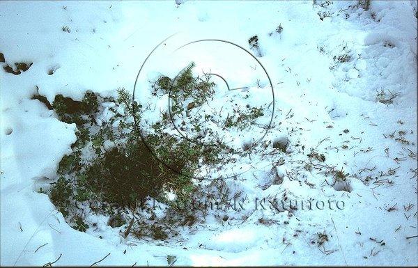 Rådjur har sökt föda under snön