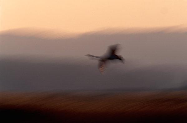 Sångsvan (Cygnus cygnus).Medveten oskärpa.