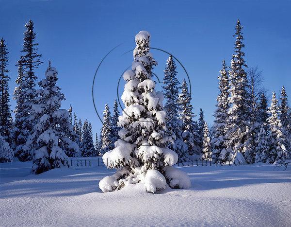 Snötyngd skog