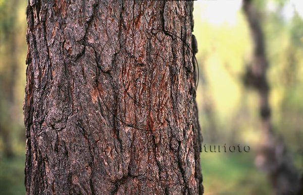 Spår av järv som klättrat i träd
