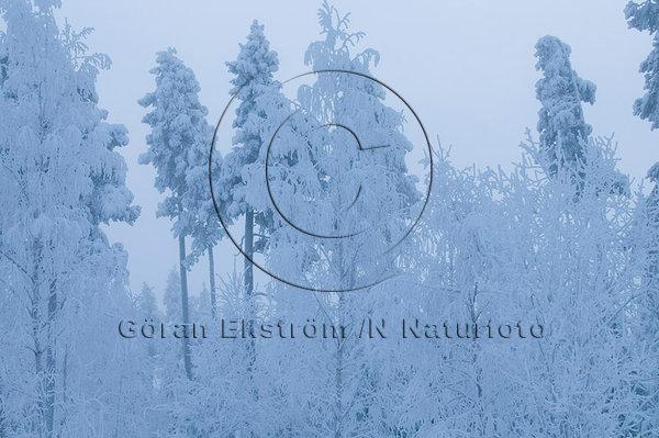 Frostdimma och snö i träd