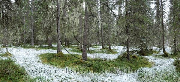 Nysnö i skogen