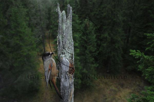 Lavskrika  (Perisoreus infaustus)