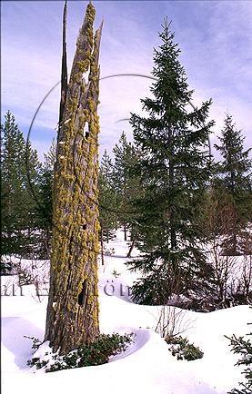Varglav   (Letharia vulpina)