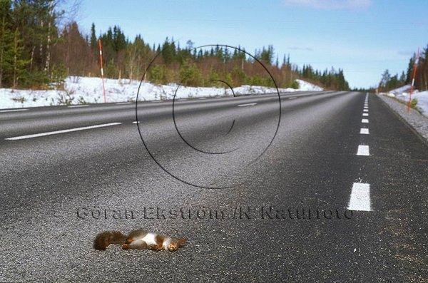 Trafikdödad ekorre