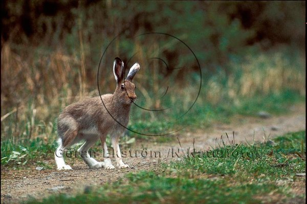 Skogshare  (Lepus timidus)