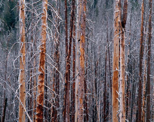 Död tallskog efter brand.