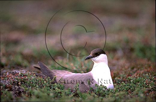 Fjällabb   (Stercorarius longicaudus)